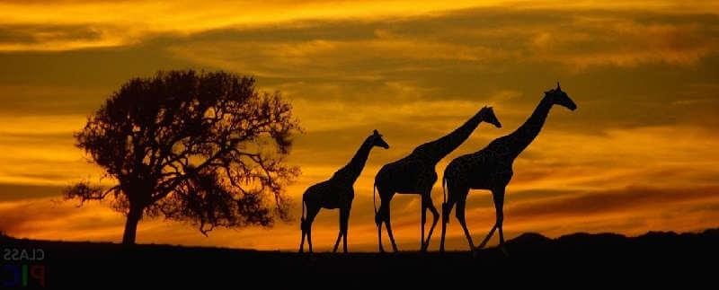 Жирафы средневековья