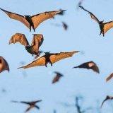 Миграции крылатых млекопитающих