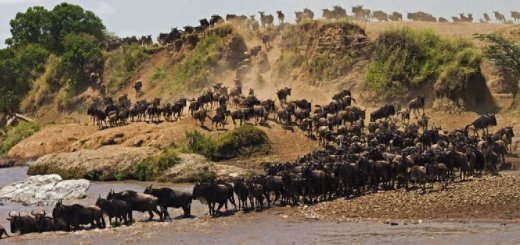 Миграции животных по суше