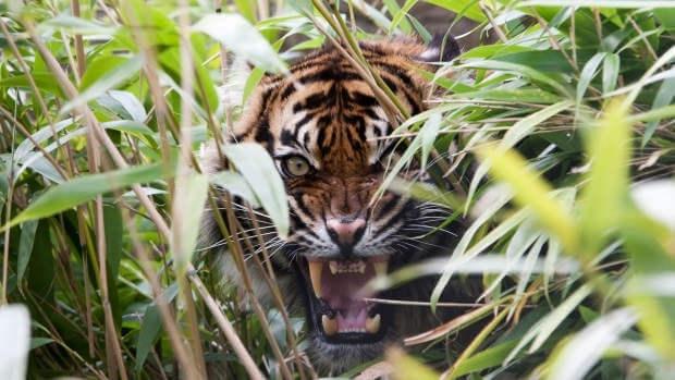 Парализующее рычание тигра