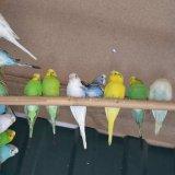 Говорящие волнистые попугайчики