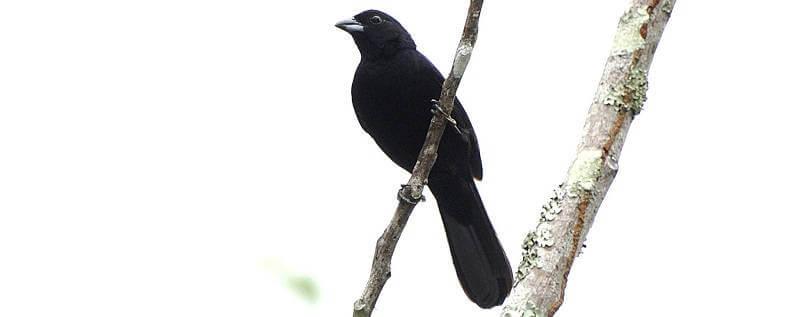 Паразитизм воловьих птиц