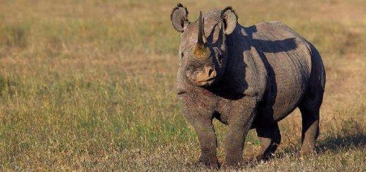 Встреча с носорогом