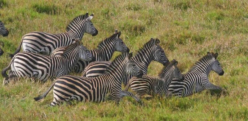 Отлов зебр