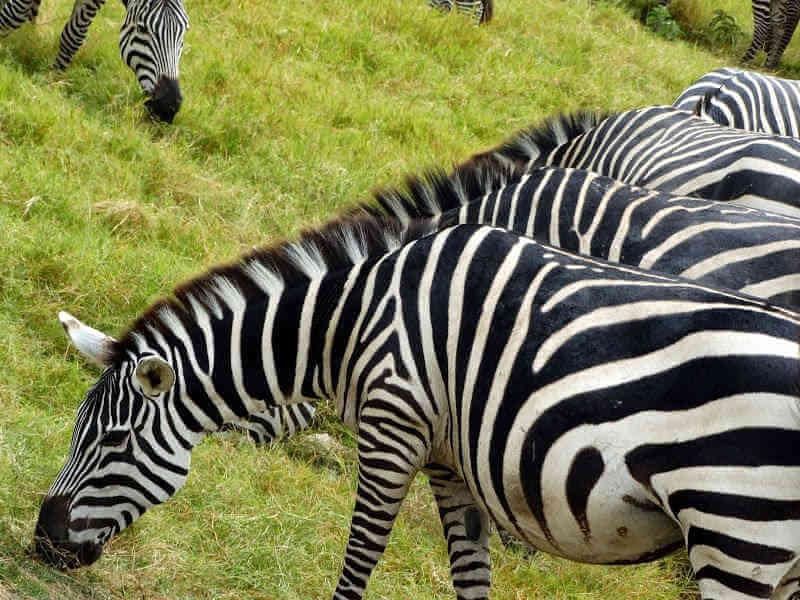 Зебры на открытой саванне