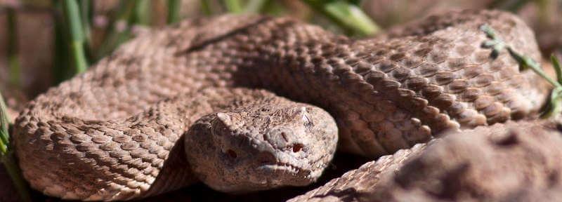 Электрочувствительность змей