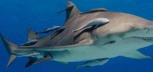 Рыба-прилипало и акула