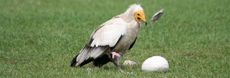 Стервятник разбивает яйцо