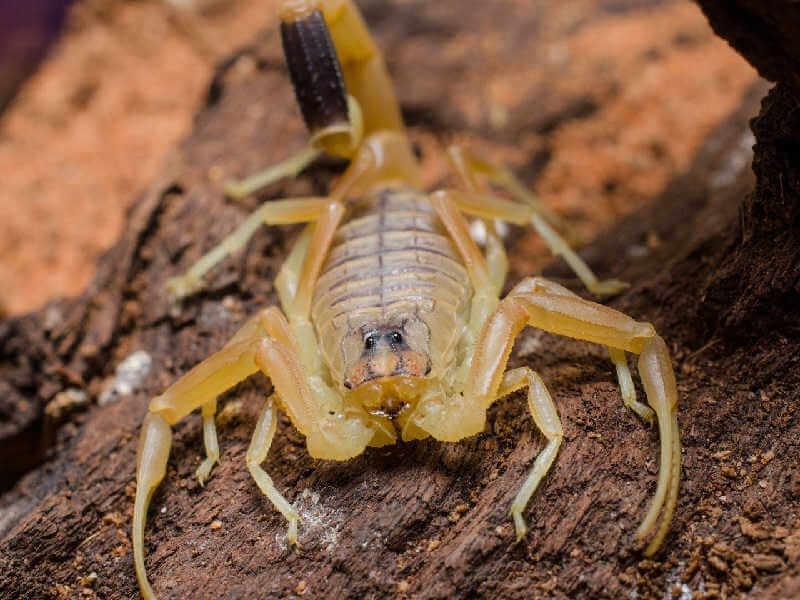 Палестинский жёлтый скорпион
