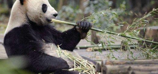 Панда питается бамбуком