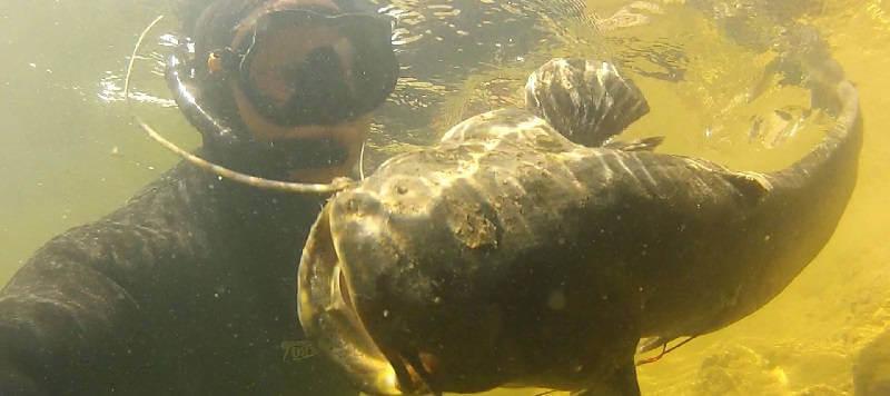 Подводная охота на крупного сома