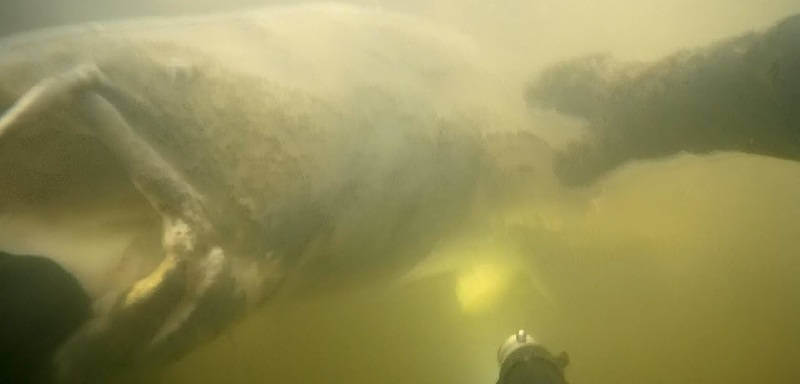 Подводная охота на сома на Волге