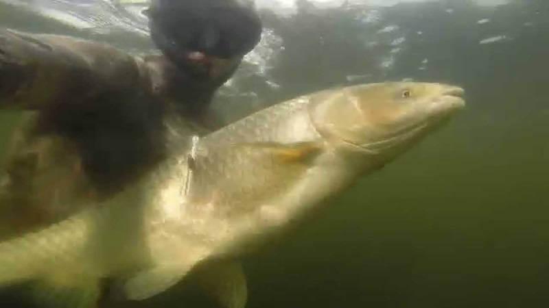 Подводная охота на амуров
