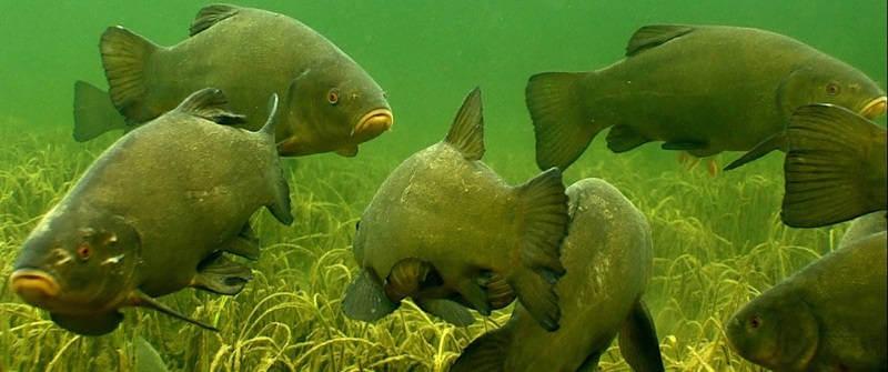 Подводная охота на линя