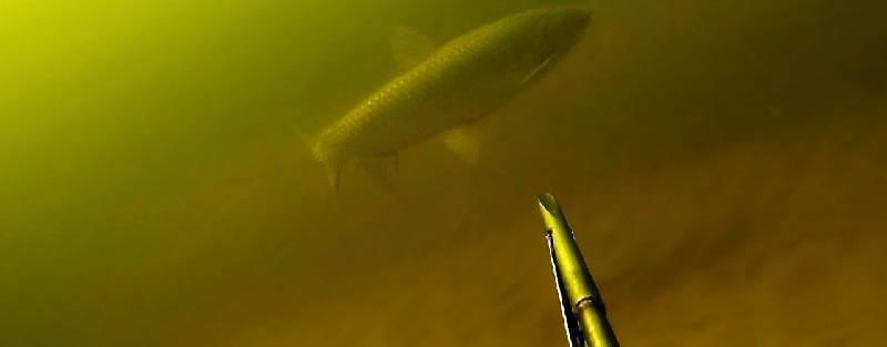 Подводная охота на амура и толстолобика