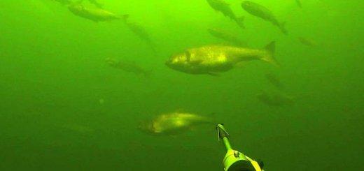 Подводная охота на толстолобиков