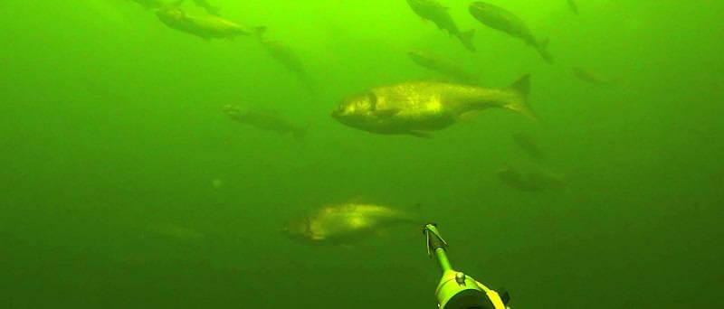 Подводная охота на толстолобиков на просвет
