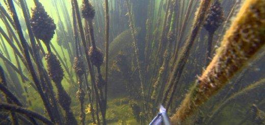Подводная охота в камышах