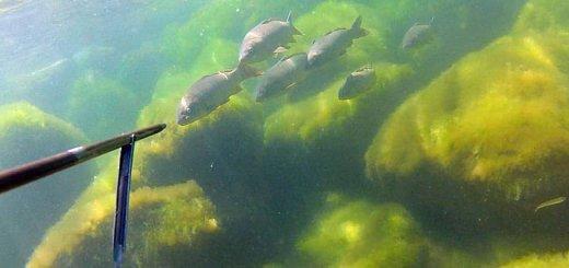 Подводная охота на сазанов на дамбе