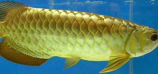Рыба Арована