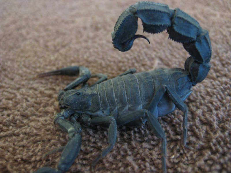 Толстохвостый скорпион