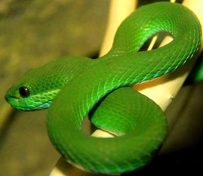 Зеленая гремучая змея