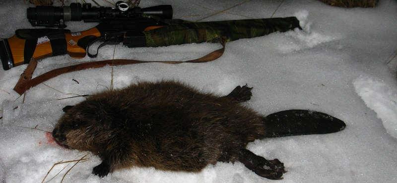 Охота на бобра в Финляндии зимой