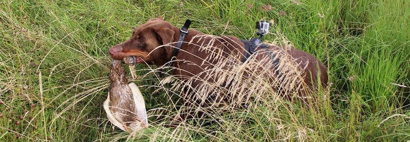Охота на уток с собакой на перелетах
