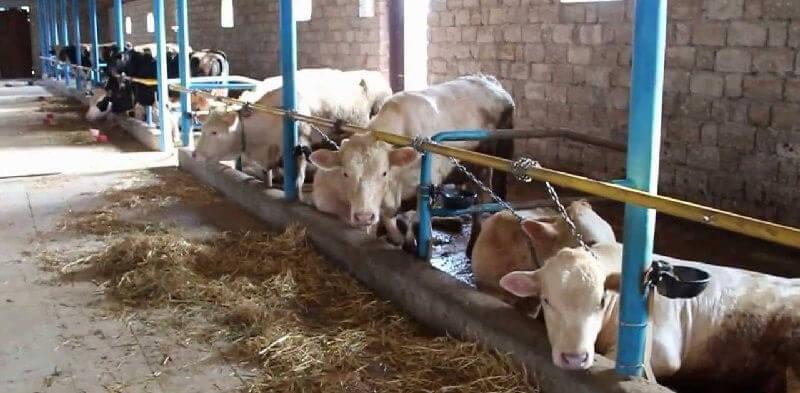 Как живут коровы