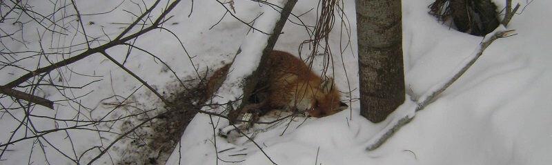 Охота на лису капканом