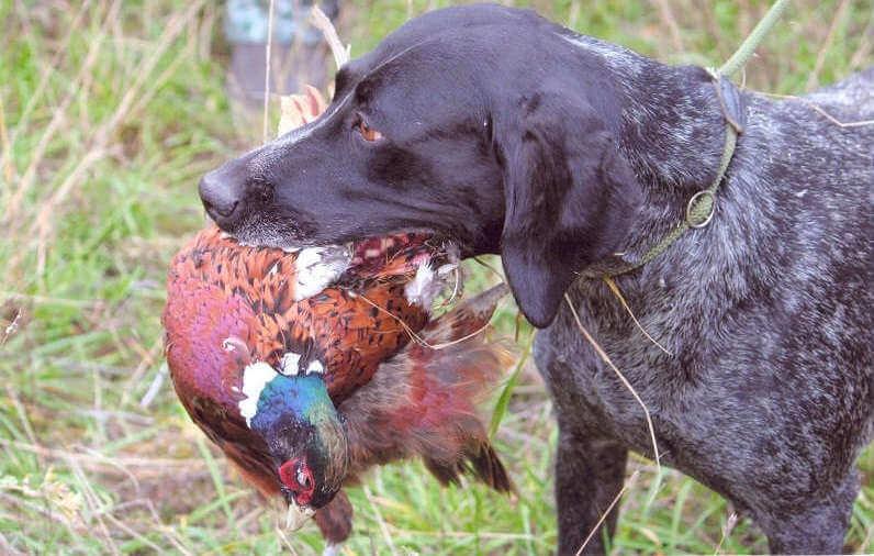 Как охотиться на фазана