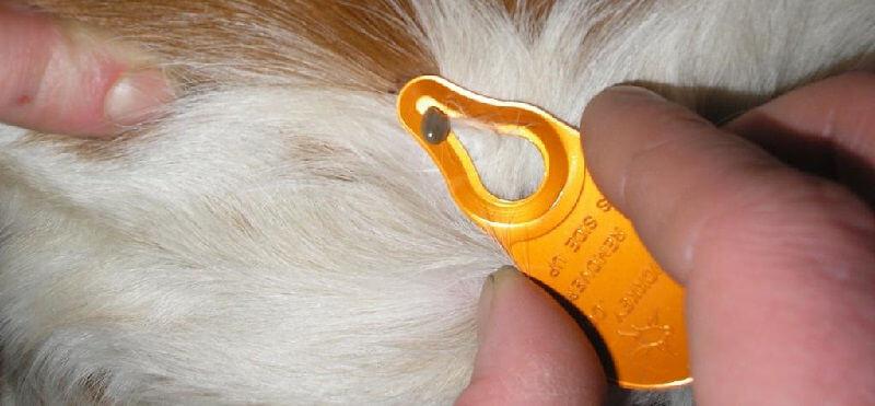 Удаление клещей у собаки