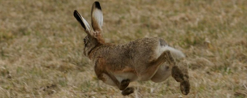 Ильменские зайцы-русаки