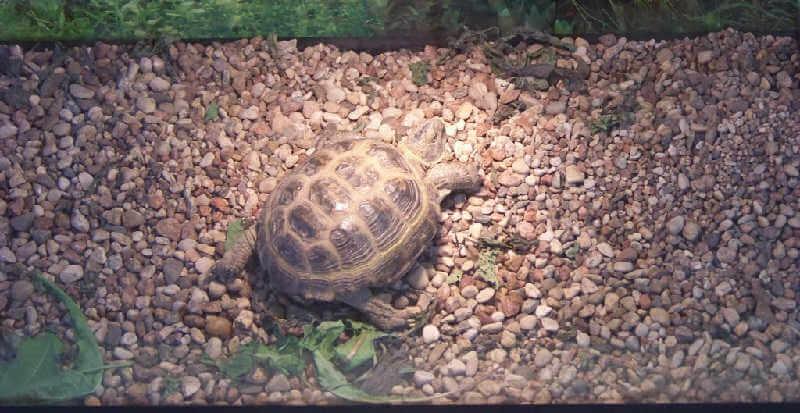 Черепаха в террариуме