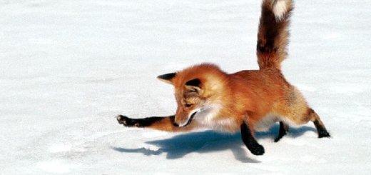 Как охотиться лиса