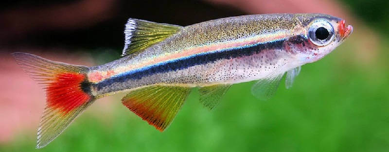 Аквариумная рыбка кардинал