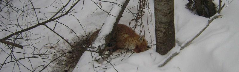 Охота на лису капканами