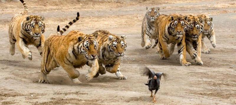 Как охотятся тигры
