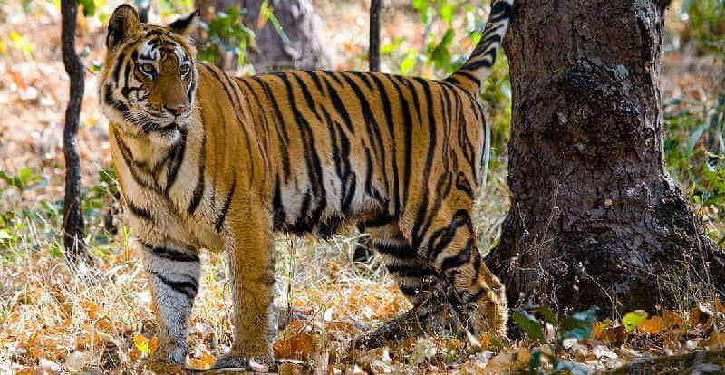 Уничтожение тигров