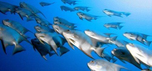 Рыба, как источник звука