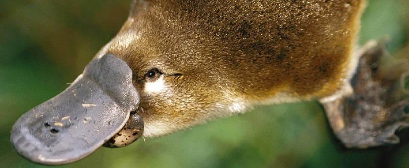 Австралийский утконос