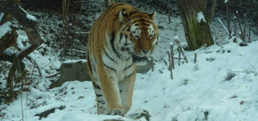 Где обитает тигр