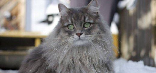 Русская сибирская кошка