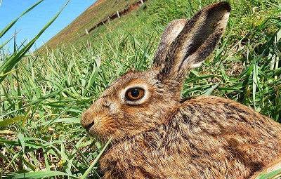 Южноафриканский кролик