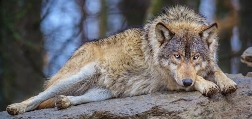 Хищник - волк