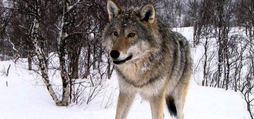 Где обитает волк