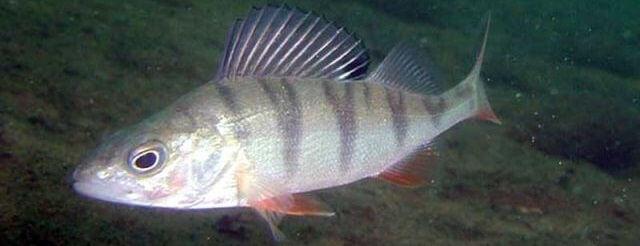 Иммунитет рыб