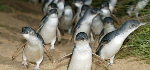 Карликовые пингвины