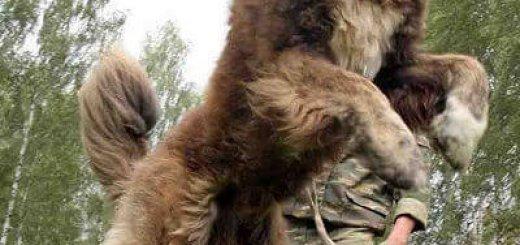Воспитание кавказских овчарок