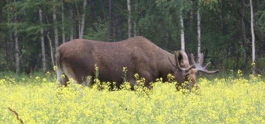 Лоси в Свердловской области